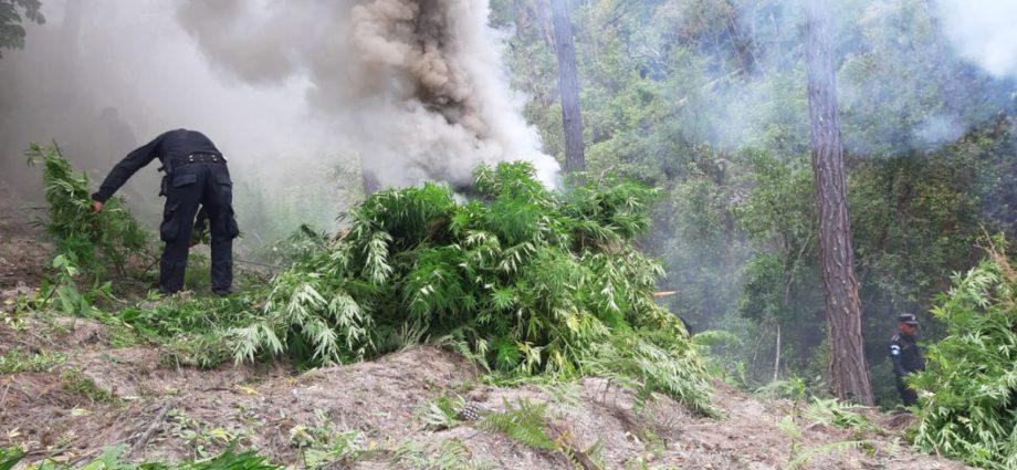 pnc erradica marihuana en momostenango totonicapán