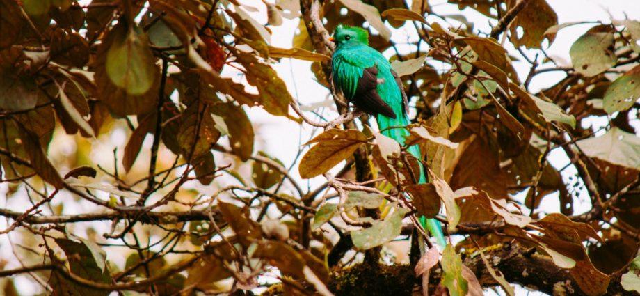 Día del Quetzal, Ave Nacional de Guatemala